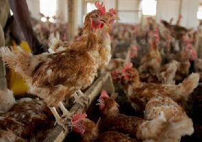 Photo of Ashanti Region records bird flu case